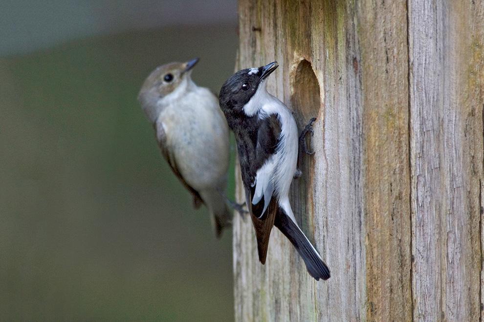 Urisgo Nido per Uccelli Casette di Ovatta a Mano Nido Vimini A Pera Goccia per pappagalli Piccoli Animali Domestici per Decorazione Giardino