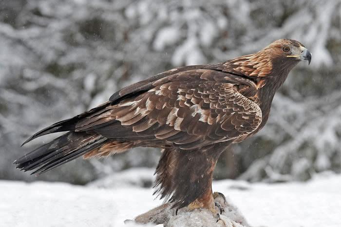 Haut vogelwarte.ch - Aigle royal YC04