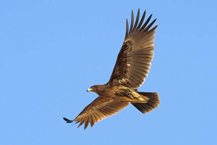 Aigle criard for Liste oiseaux des jardins