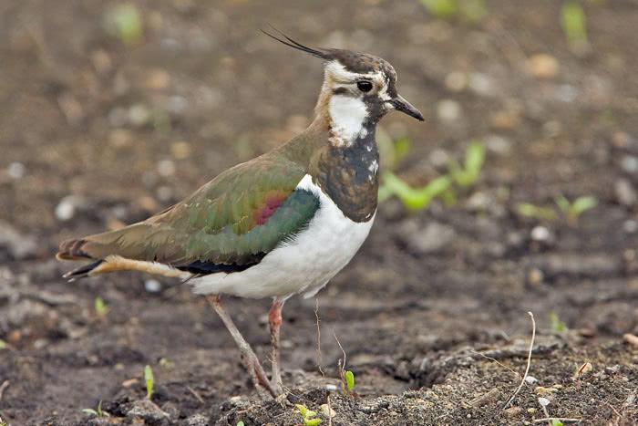 Altvogel Weibchen