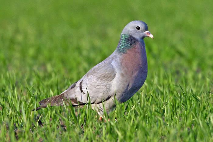 Vogelwarte Ch Pigeon Colombin