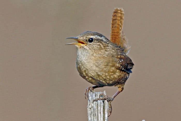 Vogelwarte Ch Zaunkonig