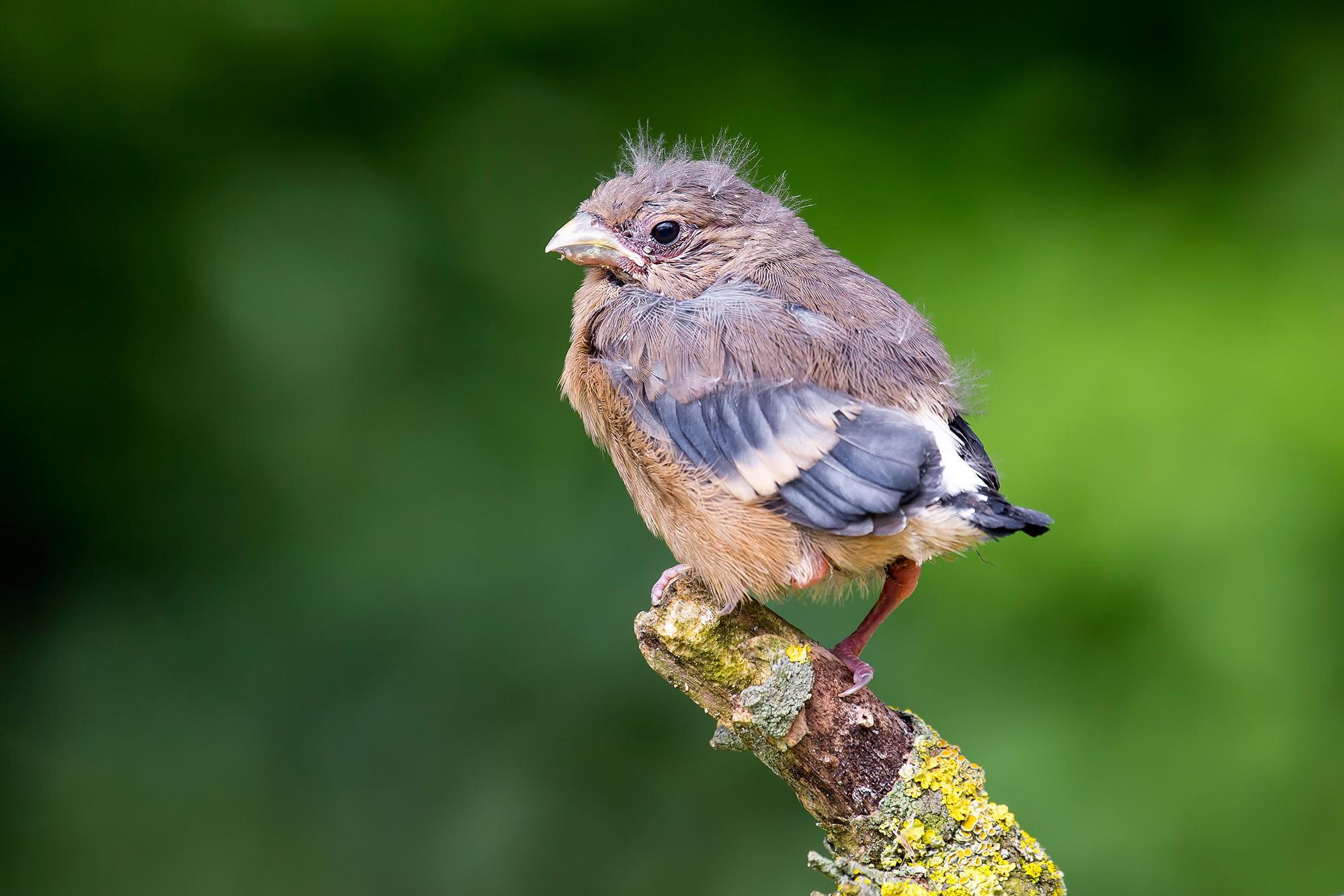 Dieser junge Gimpel ist noch nicht selbständig. Er wird von seinen Eltern aber auch ausserhalb des Nestes weiter betreut.